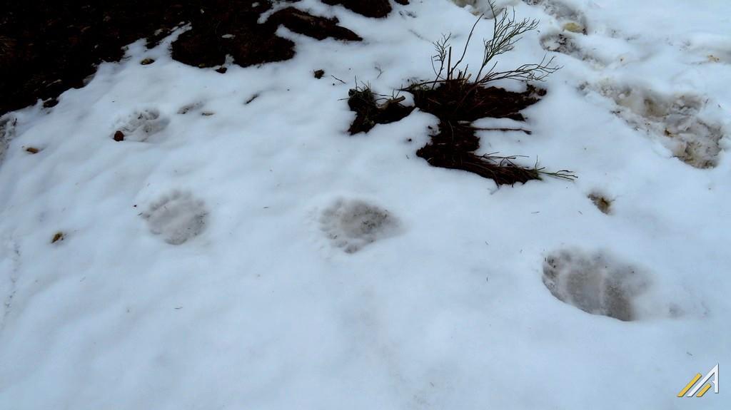 Trekking w Tatrach. Ślady niedźwiedzia w rejonie przełęczy Przysłop Miętusi