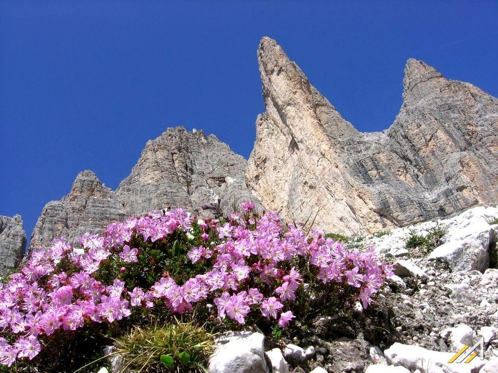 Trekking w Dolomitach, rododendron alpejski